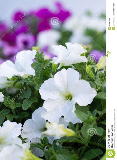 imagenes flores blancas hermosas image gallery hermosas flores blancas