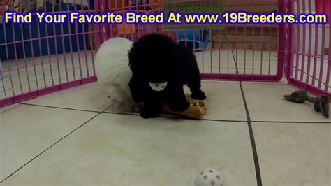 puppies for sale rock hill sc poodle puppies dogs for sale in charleston south carolina sc rock hill