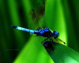 colorful dragonfly dragonfly going through changes yellowstar