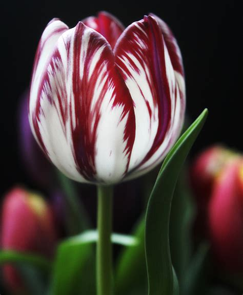 red striped tulip from the eyes of a soul flickr