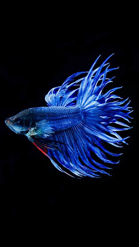 apple wallpaper betta fish betta fish wallpaper iphone 6 plus hd animal wallpaper