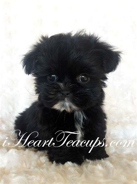 teddy yorkie puppies for sale morkie puppies for sale black teddy and morkie puppies on