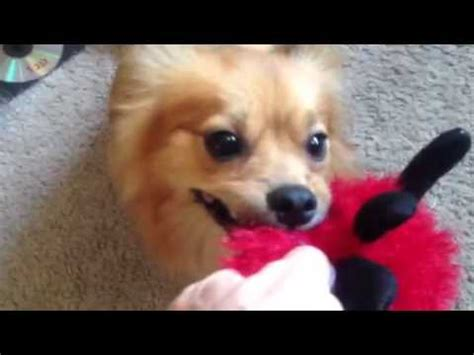 papillon vs pomeranian dameranian dachshund pomeranian mix and a balloon funnydog tv