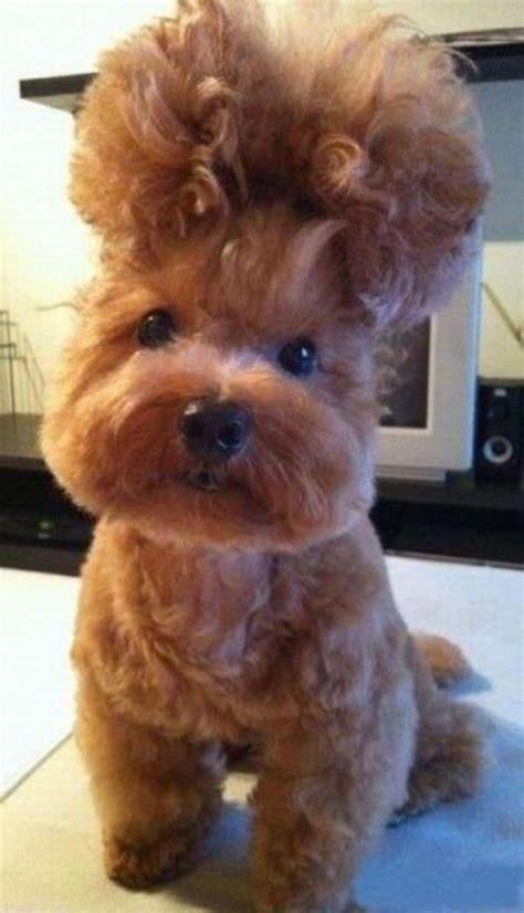 dogs with hair hair