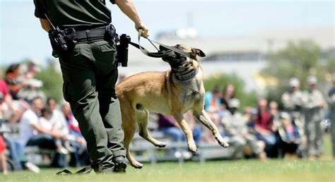 how are dogs trained to detect drugs dogs in weld county colorado are no longer trained to detect marijuana news