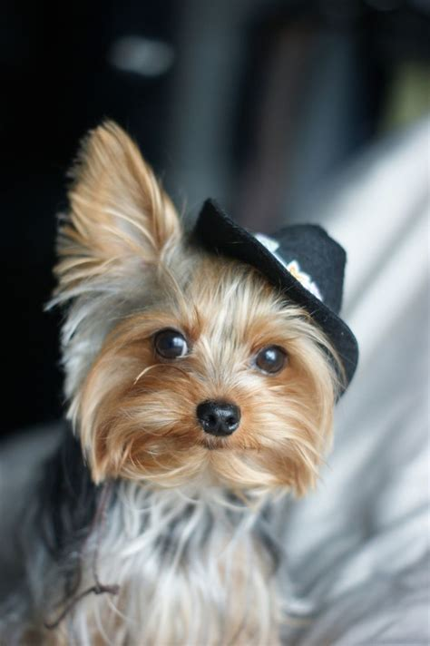 yorkie a lot of water cowboy yorkie terriers cowboys yorkies and terrier