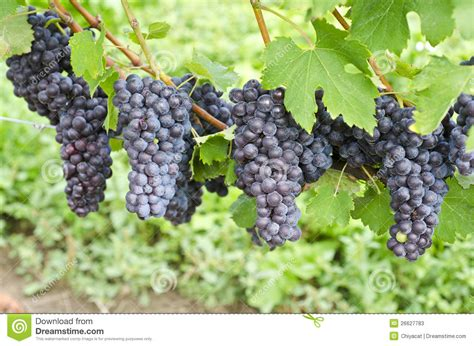 italian nebbiolo red wine grapes on the vine 3 stock