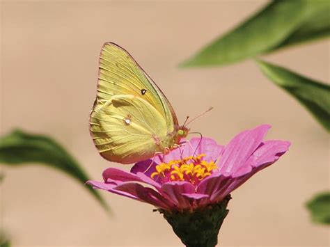 Dale Butterfly L by How To Attract Certain Butterfly Species