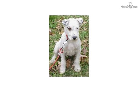 puppies available for adoption near me for adoption chuckie deaf rescue terrier puppy for adoption