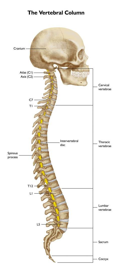 diagram spine thoracic spine diagram back diagram elsavadorla