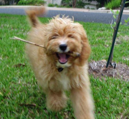 golden retriever hypoallergenic mix golden retriever poodle mix price