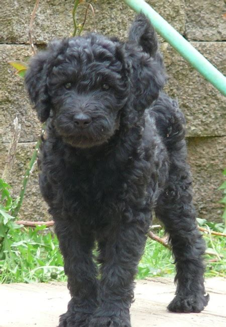black labradoodle puppy miniature labradoodle info temperament puppies pictures