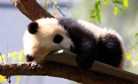 Boneka Panda Panda Hitam Putih Gigit Bambu 10 hewan paling imut di dunia