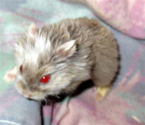 Baby Robo Dwarf Hamsters   www.pixshark.com   Images