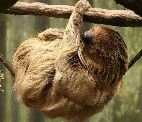three s two toed sloth wikipedia
