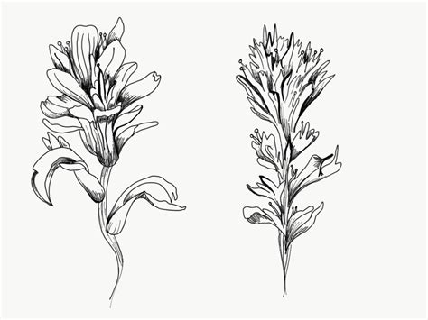 Indian Paintbrush Flower Drawing
