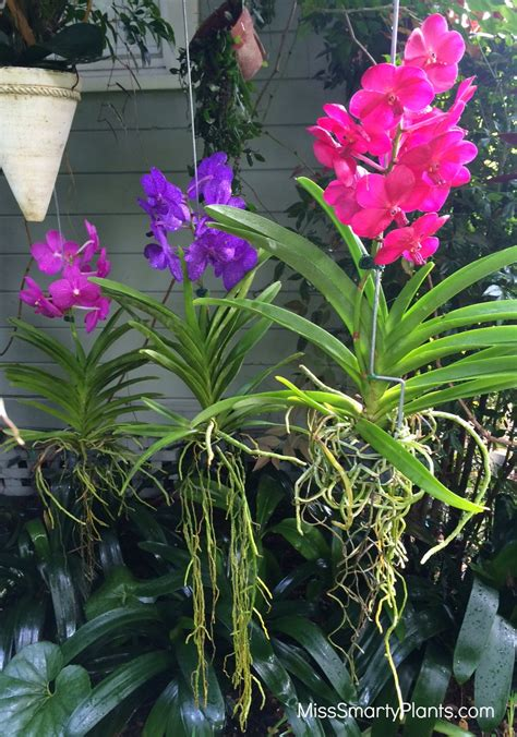 Pot Anggrek Vanda vanda orchids