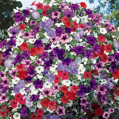 surfinie fiori petunia surfinia piante annuali petunia surfinia