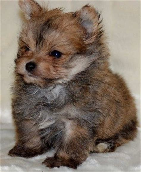 pomeranian x terrier 25 pomeranian cross breeds you to see to believe