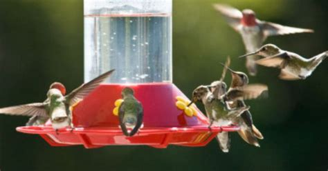 migrating hummingbirds wells brothers pet lawn