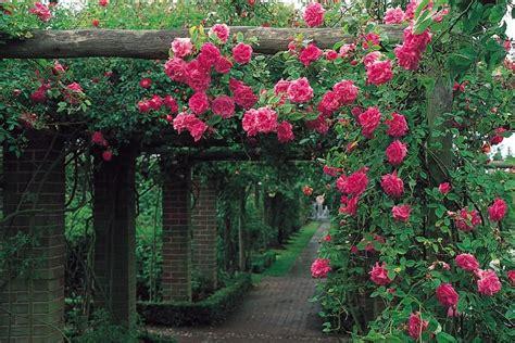 zephirine drouhin rose     climbing roses