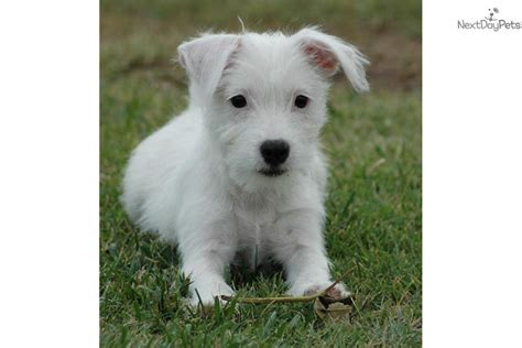 parson terrier puppies for sale breeds puppies for sale parson terrier puppies breed breeds picture