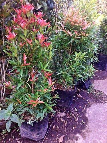 Tanaman Soka Kuning Jepang jual aneka tanaman dan pohon arya flower