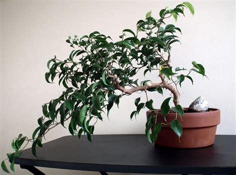 bonsai da appartamento pianta ficus piante da terrazzo pianta di ficus