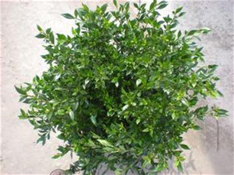 Gardenia Japonica Radicans Gardenia Jasminoides Radicans Gardenia Radicans From
