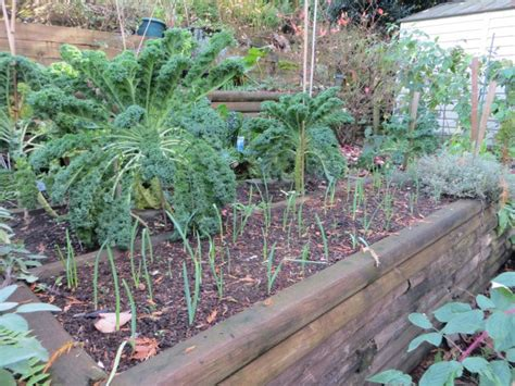Winter Vegetable Garden California A Winter Vegetable Garden In B C Caramel Parsley