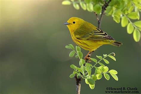 Backyard Yellow Birds Yellow Warbler Birds