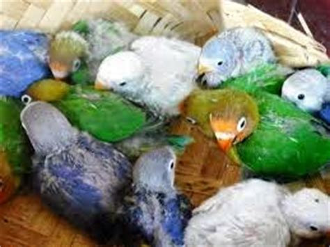 Jual Makanan Burung Lovebird ada jual lovebird bird burung lovebird burung