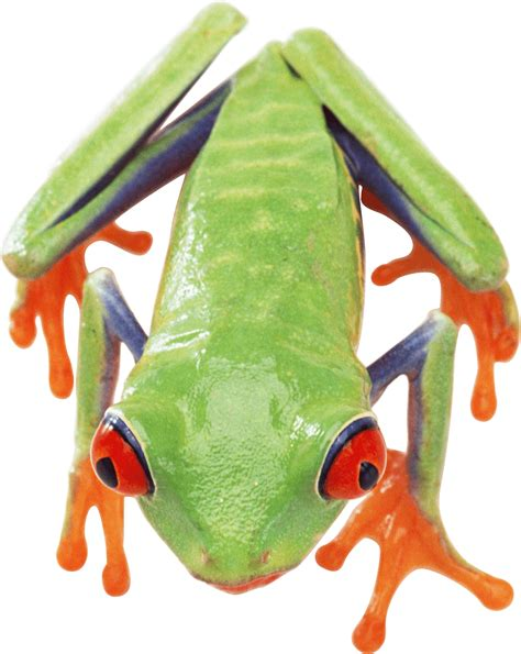 green frog png transparent clipart image