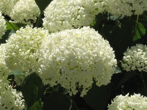 hydrangea perennials summer blooms flowers snowballs endless summer panicles