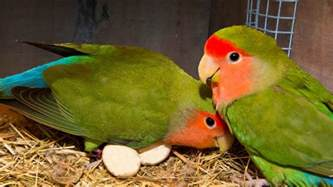 how to breed your lovebirds youtube