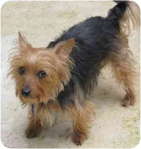 yorkie and terrier mix adopted 9 001 miami fl yorkie terrier australian