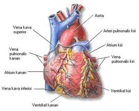 gambar jantung manusia high size contoh artikel makalah judul skripsi askep