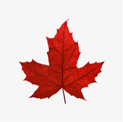 file canadian maple leaf jpg maple leaf canada leaves maple leaf png picture