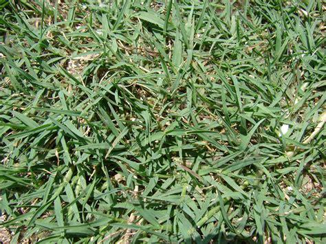 couch grass runners file starr 080531 4786 cynodon dactylon jpg wikimedia