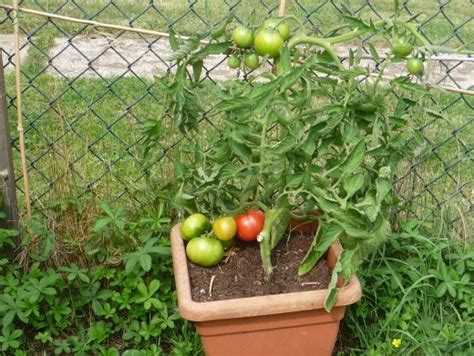garden variety the american tomato from corporate to heirloom arts and traditions of the table perspectives on culinary history books growing notes and review of crimson crush tomatoes