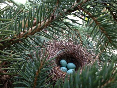 house finch birds nest nest eggs pinterest