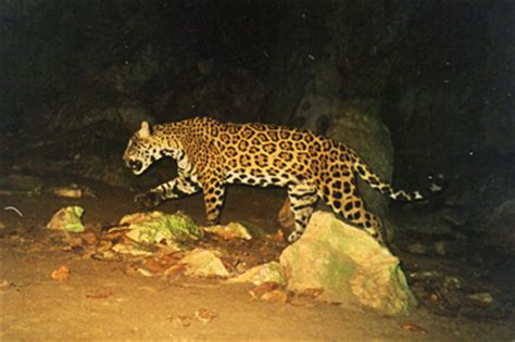 what state are the jaguars from computational landscape ecology jaguars as a study