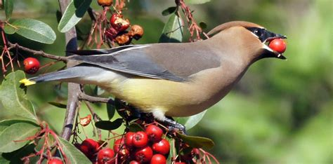 wild about birds cedar waxwing pics tips