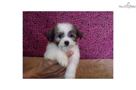 havaton puppies for sale havaton puppies for sale price breeds picture