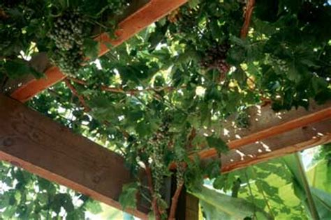 wood shop guide   plans  grape arbor