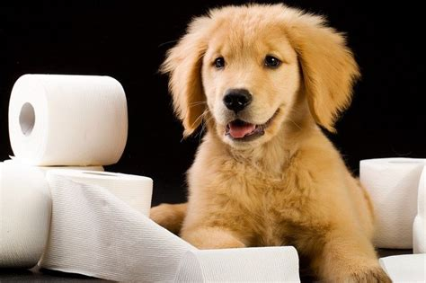 puppy toilet paper constipation in dogs help your empty its bowels