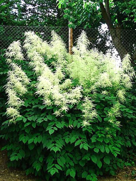 aruncus dioicus goatsbeard is a large showy native good for fencelines or borders like a