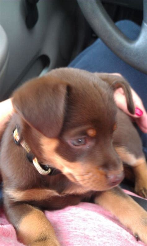 dachshund puppies for sale in lancaster pa miniature dachshund puppies for sale lancaster pa breeds picture
