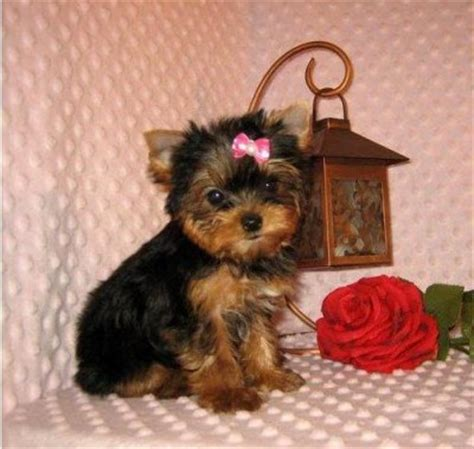 yorkie colorado colorado puppies for adoption breeds picture