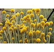 Craspedia  Carzan Flowers Kenya Ltd